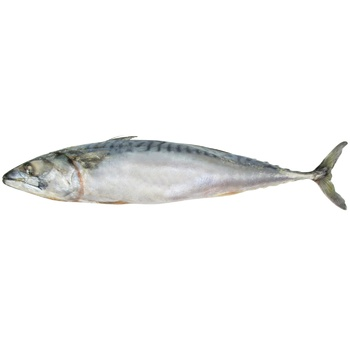 Fish atlantic mackerel frozen