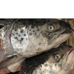 Fish atlantic salmon Amstor fresh Ukraine