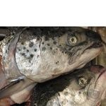 Fish atlantic salmon Amstor fresh