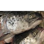 Рыба семга Амстор свежая