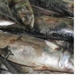 Рыба скумбрия замороженная