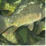 Fish carp live Ukraine