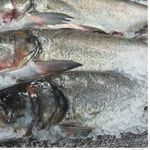 Fish silver carp gutted Ukraine