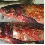 Fish silver carp chilled Ukraine