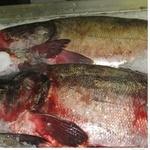 Fish silver carp fresh Ukraine