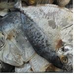 Fish vomer Shelf sun dried Ukraine