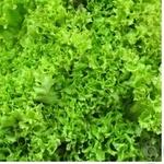 Зелень салат лолло-россо свіжа Україна