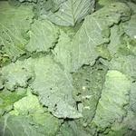 Овочі капуста савойська свіжа