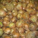 Овощи лук репчатый свежая