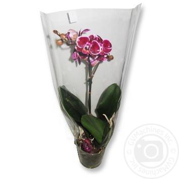 Фаленопсис 1 квітка - купити, ціни на Ашан - фото 2