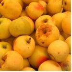 Fruit apple snow kalvin fresh Ukraine