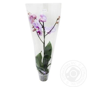 Рослина Орхідея Фаленопсис Мікс.Н:55 1 стебло - купить, цены на Novus - фото 1