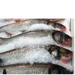 Рыба толстолобик свежая