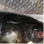 Риба білий амур свіжа