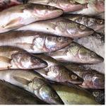 Рыба судак свежая